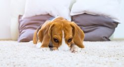 Get Rid Of Dog Urine Smell and Stain on Carpets